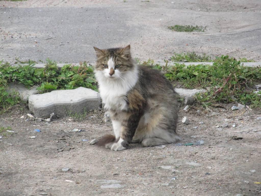 Может ли стерилизованная кошка уходит в загул ⋆ онлайн-журнал для женщин