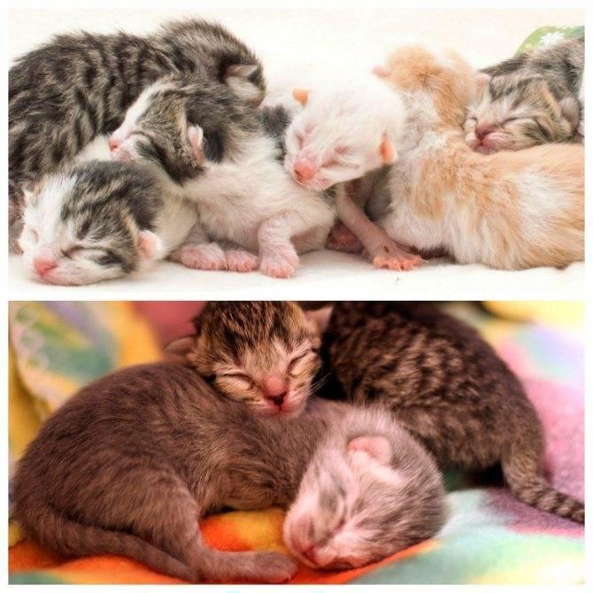 Сколько котят может родить кошка сфинкс первый раз | my darling cats