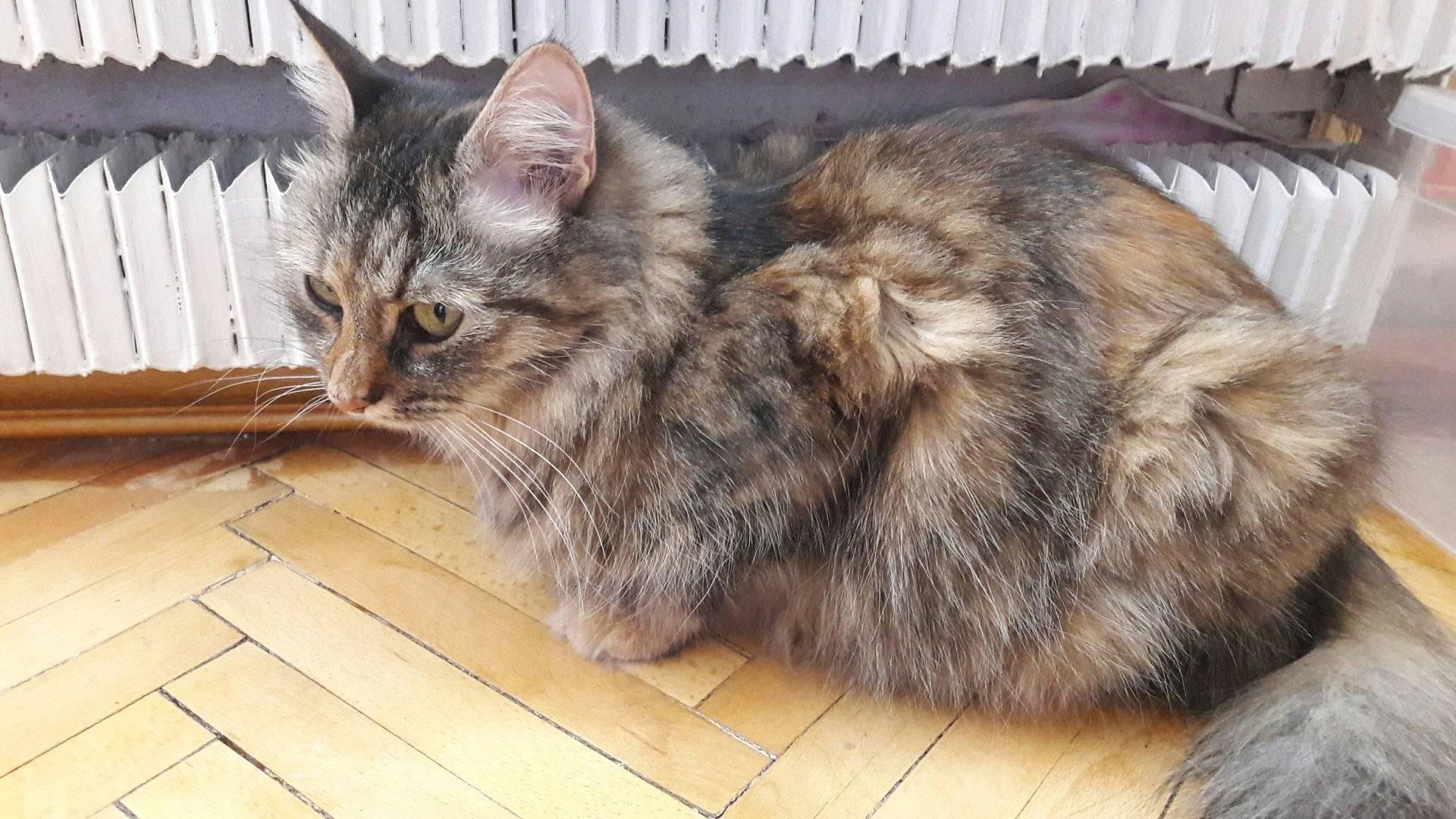 До какого возраста растут коты и кошки, 1 кошачий год – это сколько человеческих лет?