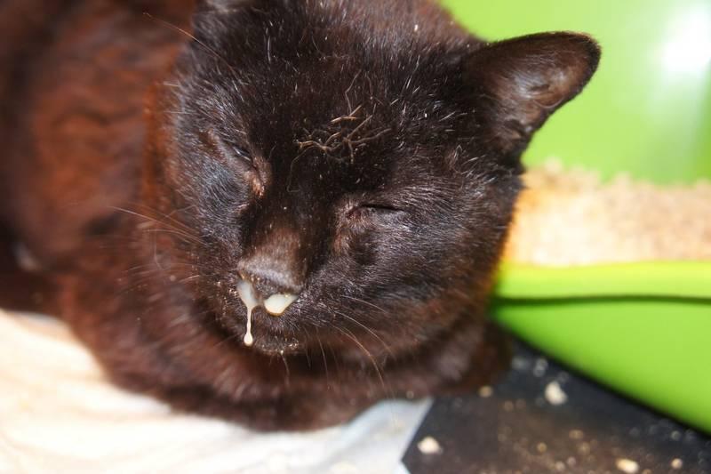 Что делать, если кошка кашляет, как будто подавилась, чем лечить кашель