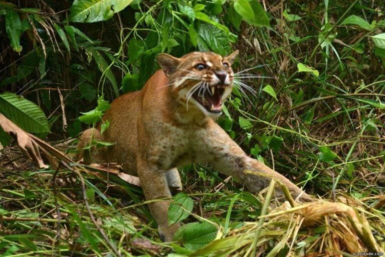 Гобийская серая кошка: ареал обитания и описание