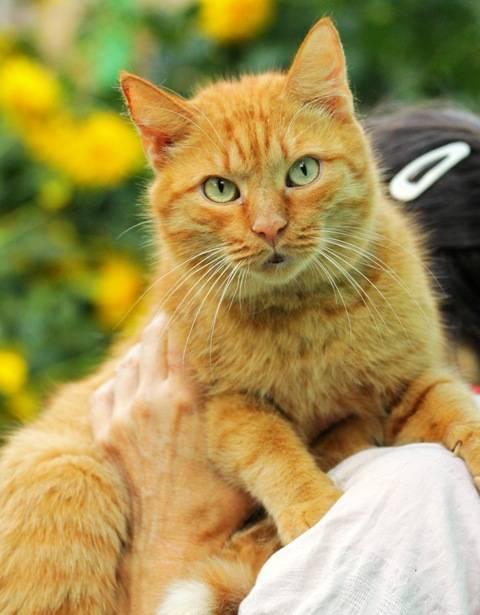 Рыжий британский кот (31 фото): описание кошек рыжего окраса, особенности характера котят британской породы
