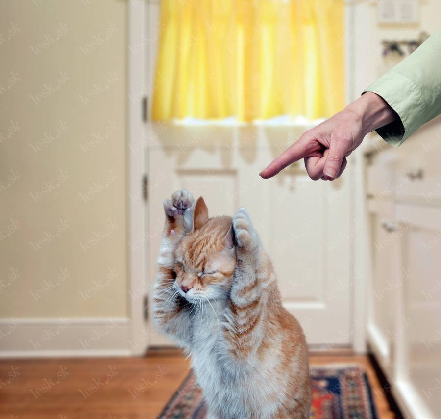 Как подружить между собой двух котов или кошек в одной квартире, что делать, если они дерутся и орут?