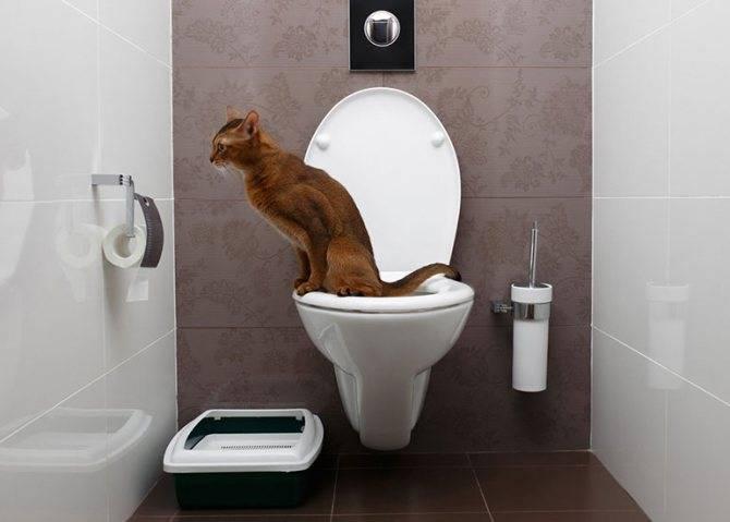 Как научить кота ходить в туалет на унитаз в квартире