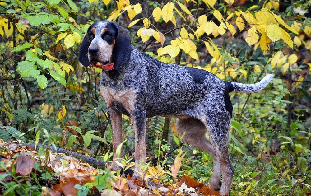 Черно-подпалый кунхаунд — характеристика и фото породы | все о собаках