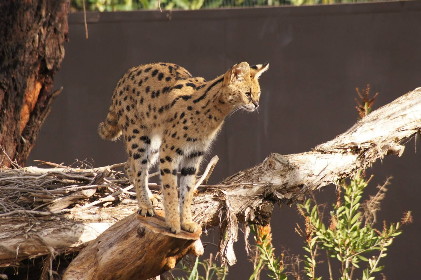 Сервал кошка. образ жизни и среда обитания кошки сервал | животный мир