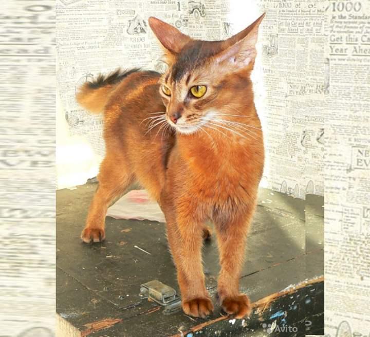 Сомалийская кошка - топ 115 фото с советами по содержанию и уходу!