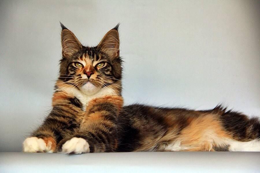 Полидактильная кошка что это значит, полидакт мейн кун фото