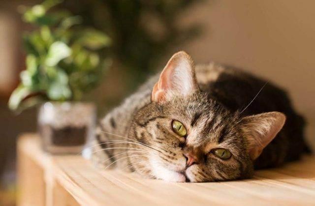 Насморк у кошек