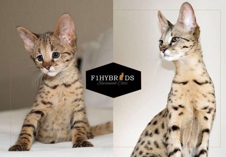 Саванна кошка: описание, характер, фото, цена, содержание