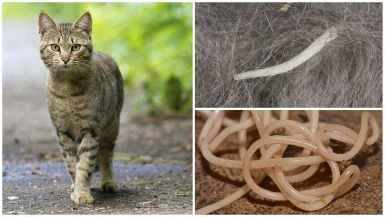 Какие кошачьи глисты передаются человеку: таблица заразных паразитов