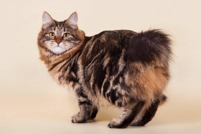 Кошка с острова мэн: знакомимся с бесхвостой кошкой