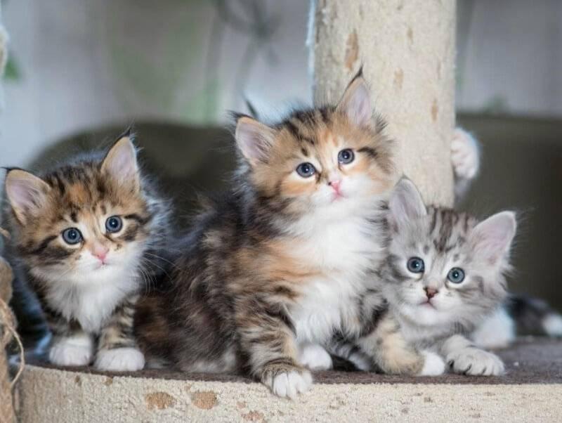 Сибирская кошка (сибирский кот): подробное описание породы с фото