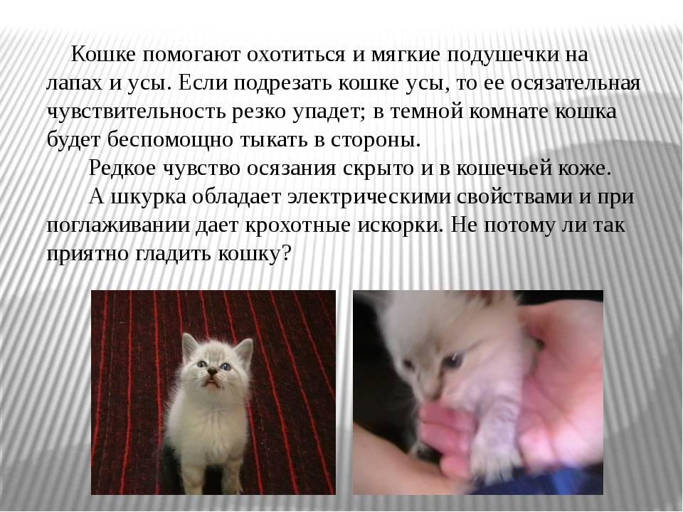 Зачем коту усы: функции вибриссов, механизм применения