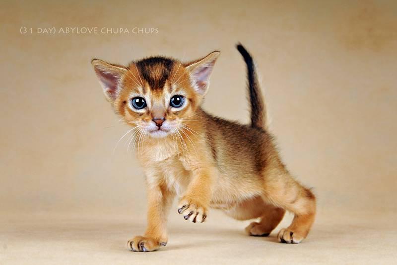Маленькие породы кошек: список с фотографиями и названиями | сайт «мурло»