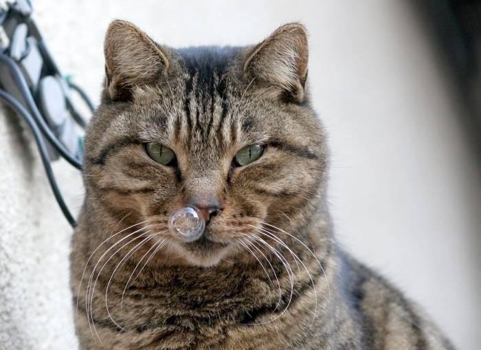 Кот или кошка чихает: почему, причины, что делать