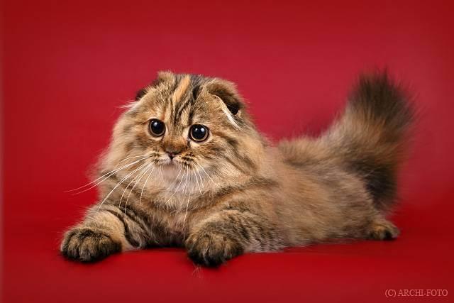 Независимая шотландская прямоухая кошка (скоттиш страйт)