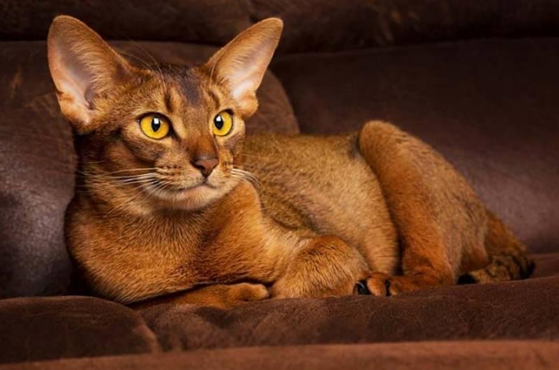 Какую кошку лучше завести в квартире, рекомендации, список пород