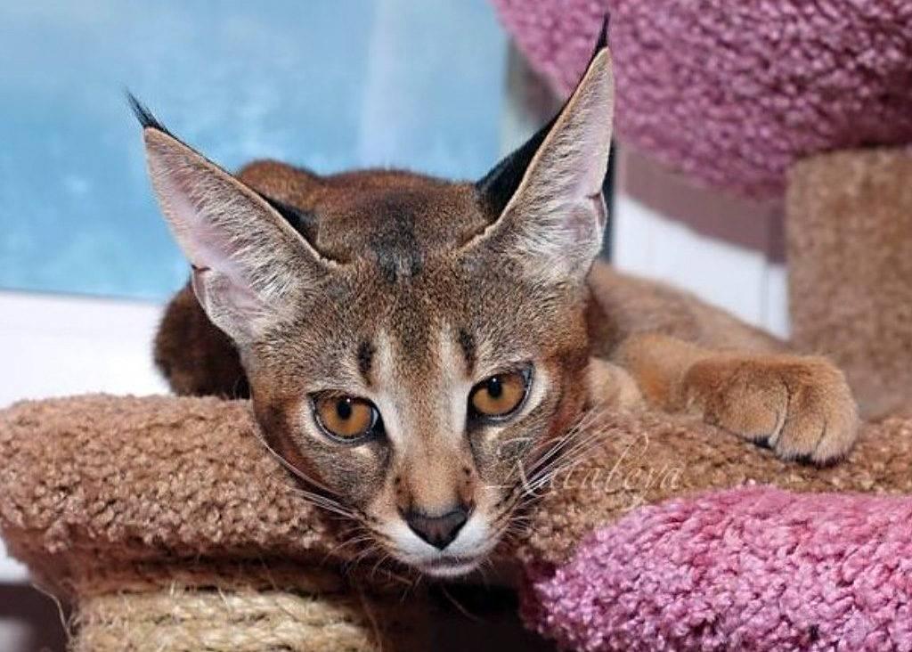 Популярные породы кошек в России и мире: какого питомца лучше завести в квартире?