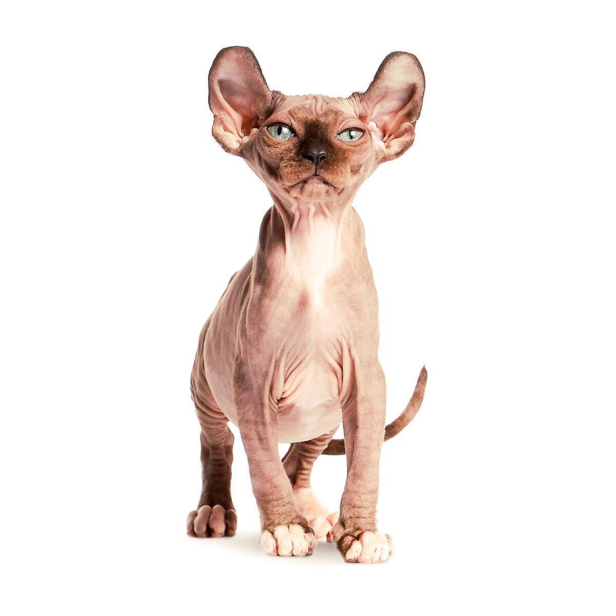 Ликой (36 фото): описание кошек и котов новой породы, происхождение котят-оборотней. особенности содержания гипоаллергенных котов