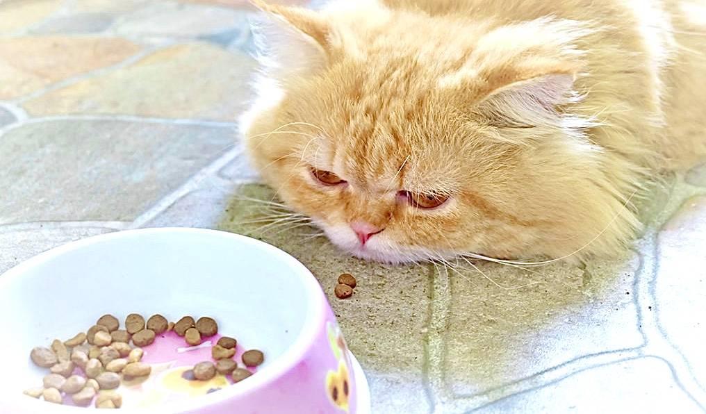 Что делать, если кошка не ест: помощь, причины и следствия