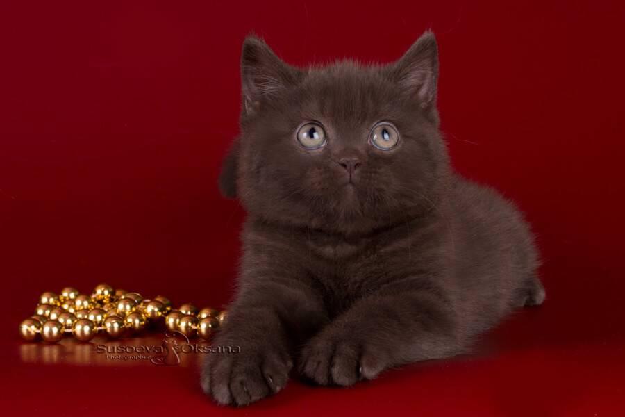 Шоколадный британец: история выведения и стандарт окраса вислоухих кошек