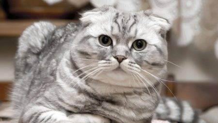 Как отличить британскую кошку от шотландской?