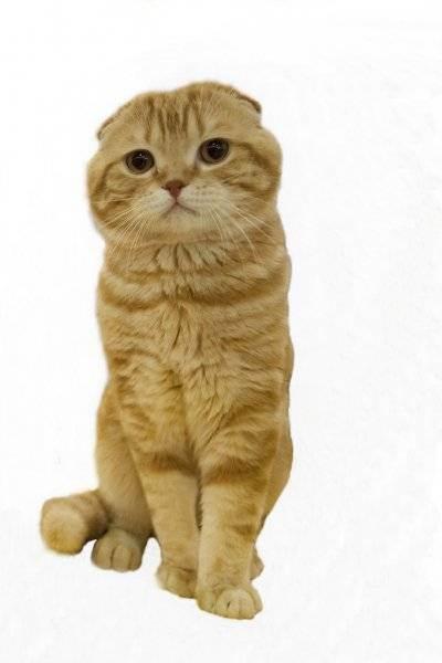 Скоттиш-страйт:семейные кошки с отличным характером