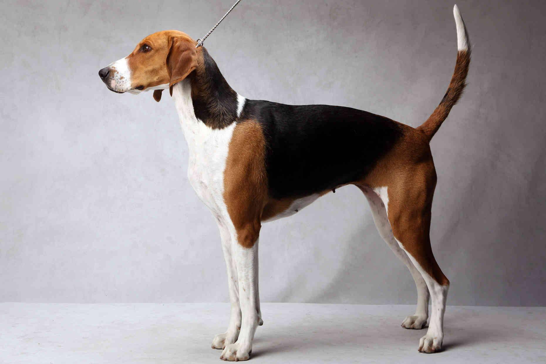 Английский фоксхаунд (английская лисья гончая):обзор породы собак с фото
