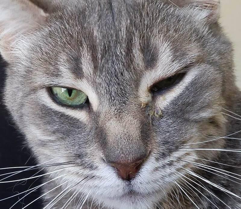 У кота опухла нижняя челюсть: причины и диагностика опухоли у кошек