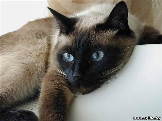 Для чего кошке нужен таурин?