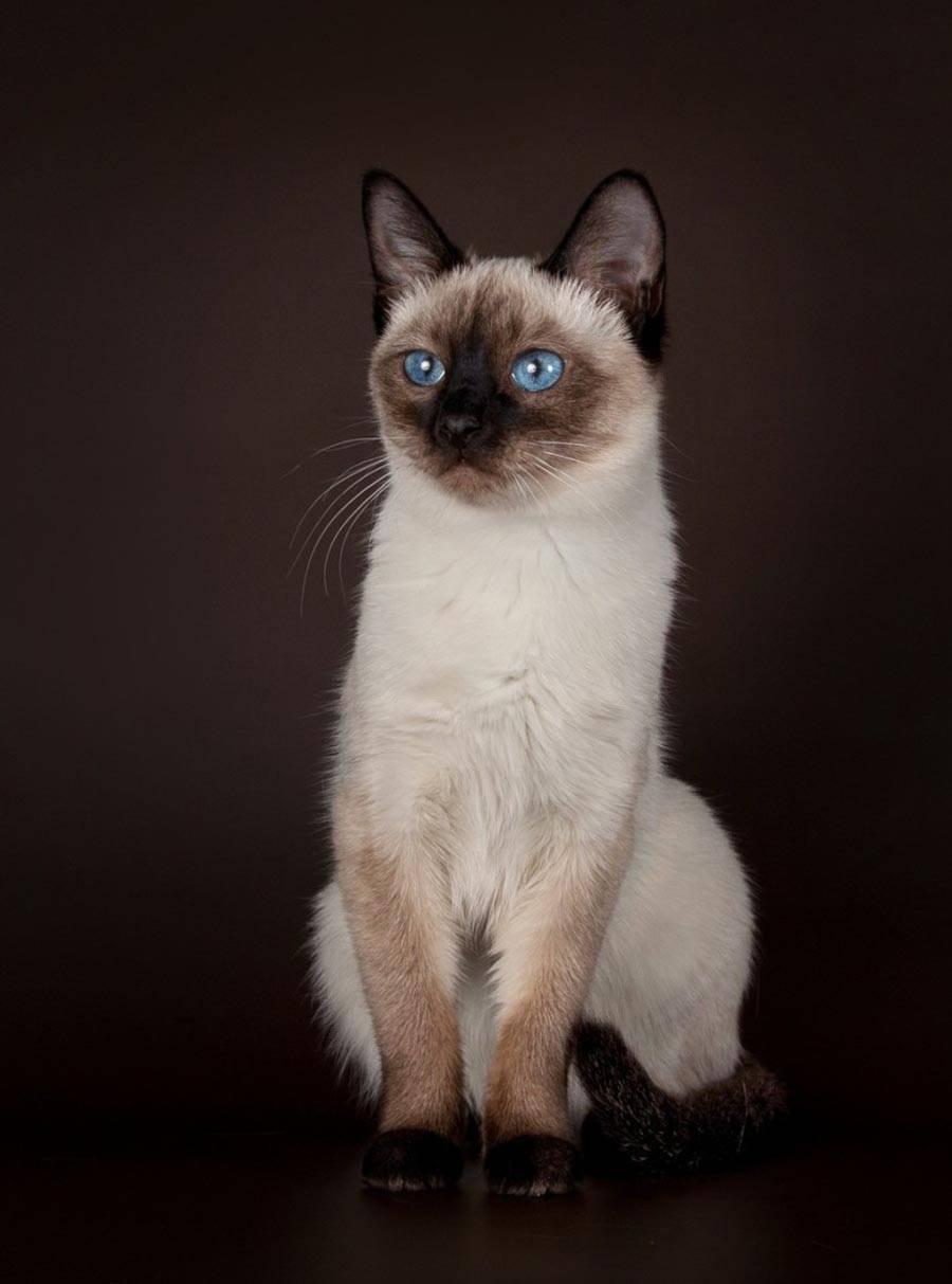 «тайская» москва: сколько стоит тайский котенок от домашней кошки, что влияет на стоимость тайского котёнка, как выглядят новорождённые, кошка тайской породы и тайские котята на фото, отзывы