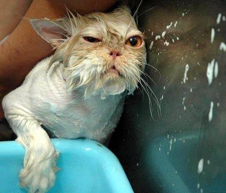 Почему кошки боятся воды и не любят купаться, есть ли коты, которым нравится плавать?