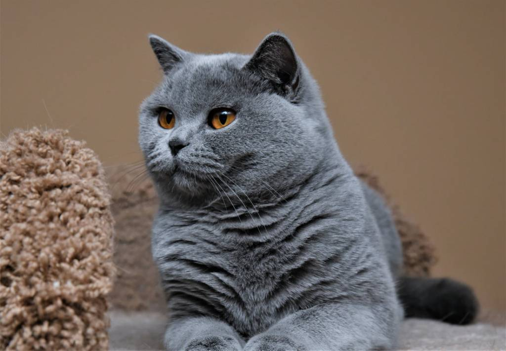 Как приручить британскую кошку?