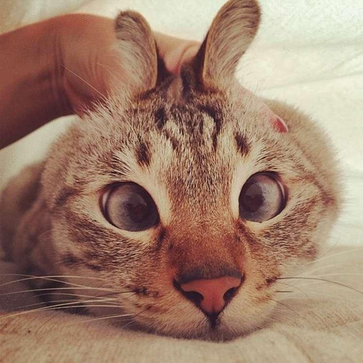 Почему рождается кот с косыми глазами, порода косоглазых кошек