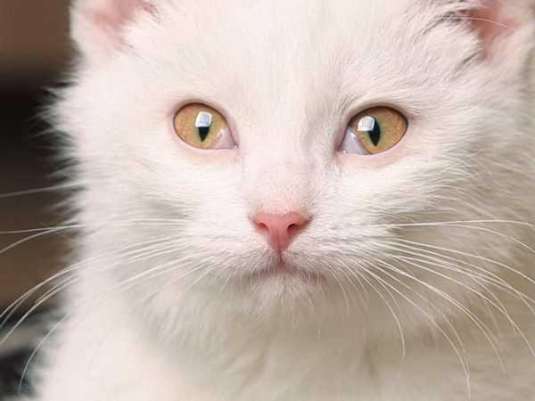 Пленка на глазу у кошки