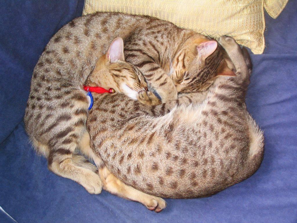 Скоттиш страйт - описание породы от а до я (135 фото): характер, цена котят, отзывы, содержание