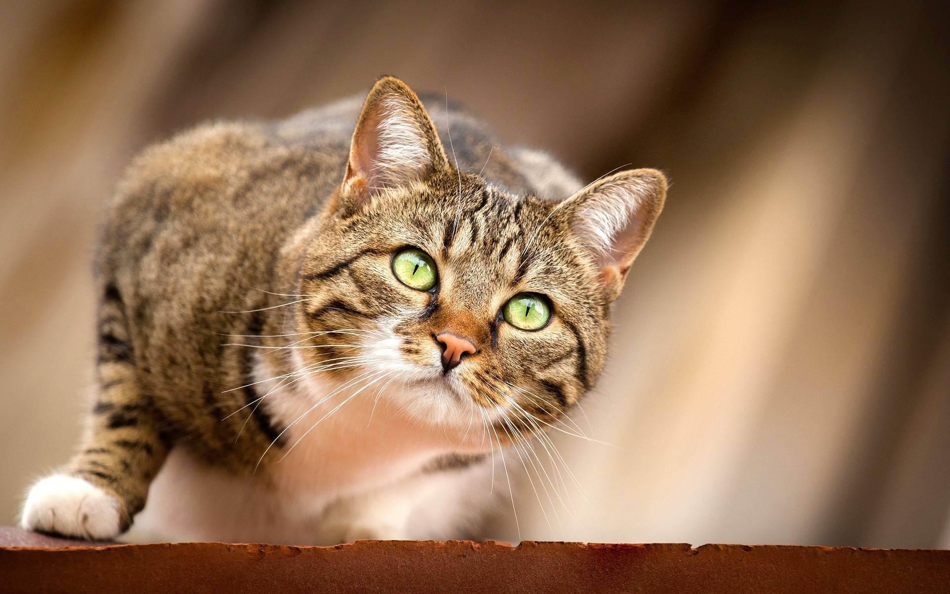 Таурин для кошек — польза, вред, дозировка и особенности применения в рационе питания кошек (90 фото)