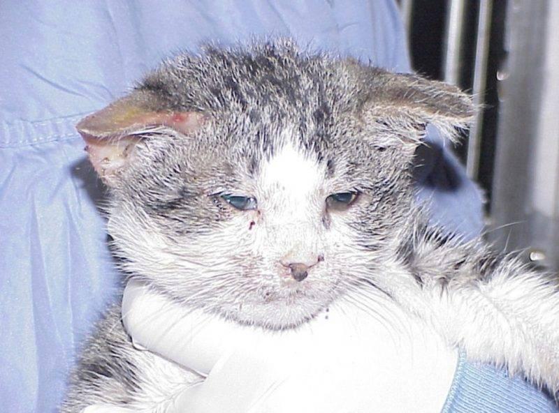 Воспаление кишечника у кошки: что такое, причины развития, первые признаки, методы лечения, препараты, правила кормления