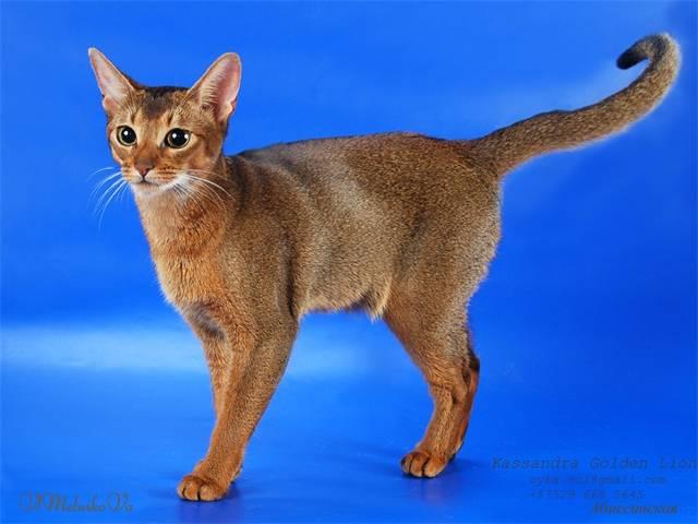 Пятнистые кошки: породы с названиями и фотографиями