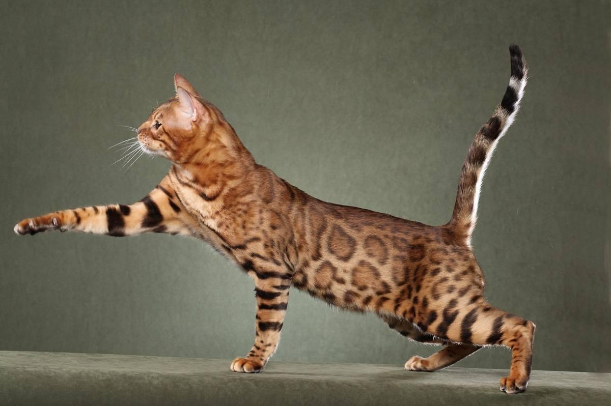 Топ 10 самых быстрых кошек