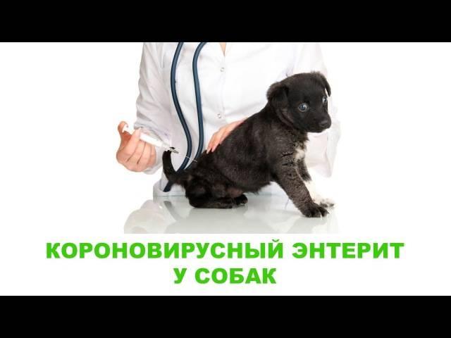 Вирусный энтерит у кошек – симптомы, профилактика, методы лечения