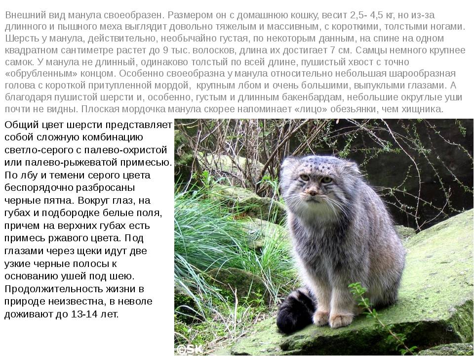 Манул: дикий кот и интересные факты о нем