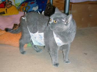 Беременность и роды у британской породы кошкек-котята