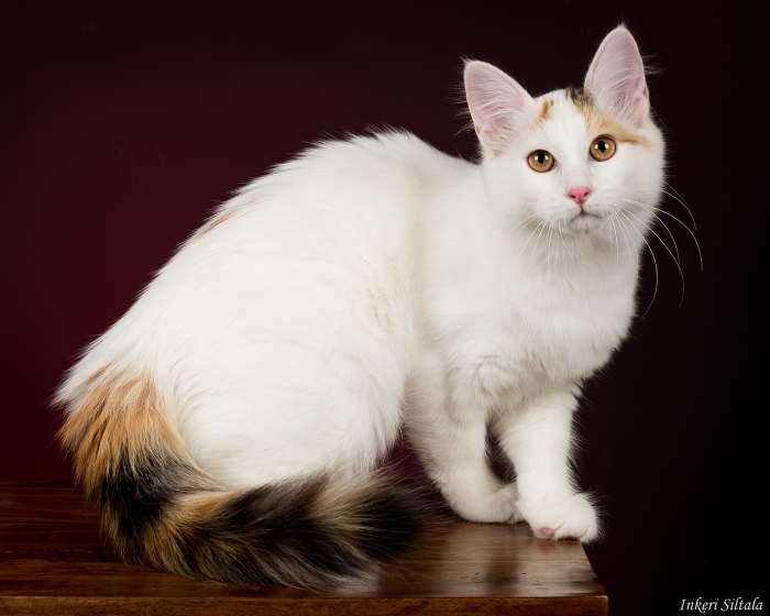 Кошка гавана браун - все особенности породы от а до я: фото, уход, содержание, плюсы и минусы породы, характер и многое другое