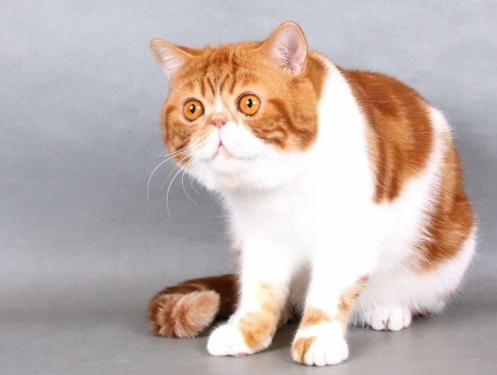Китайский кот снупи – история популярности, сколько стоит звезда