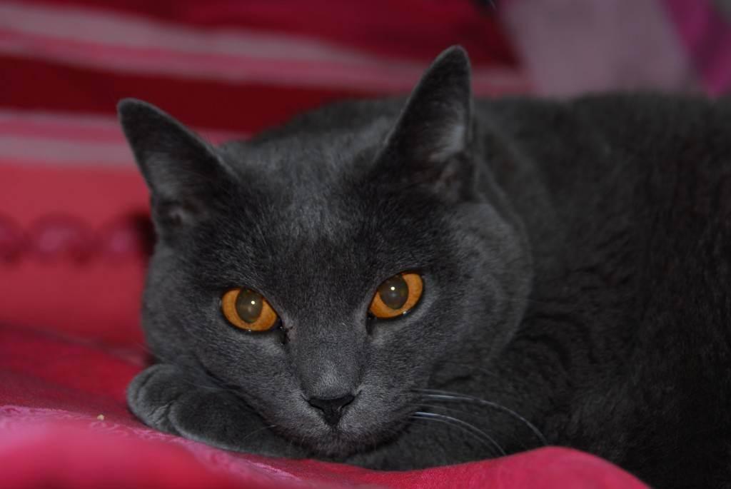 Шартрез - описание, характер и условия содержания кошек монахов-картезианцев