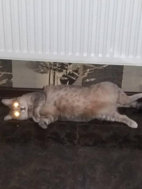 Почему кошка дрожит