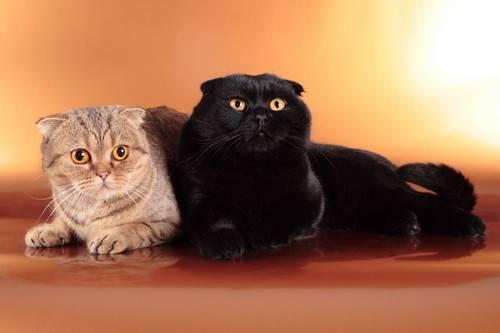 Британская вислоухая кошка: реальность или миф