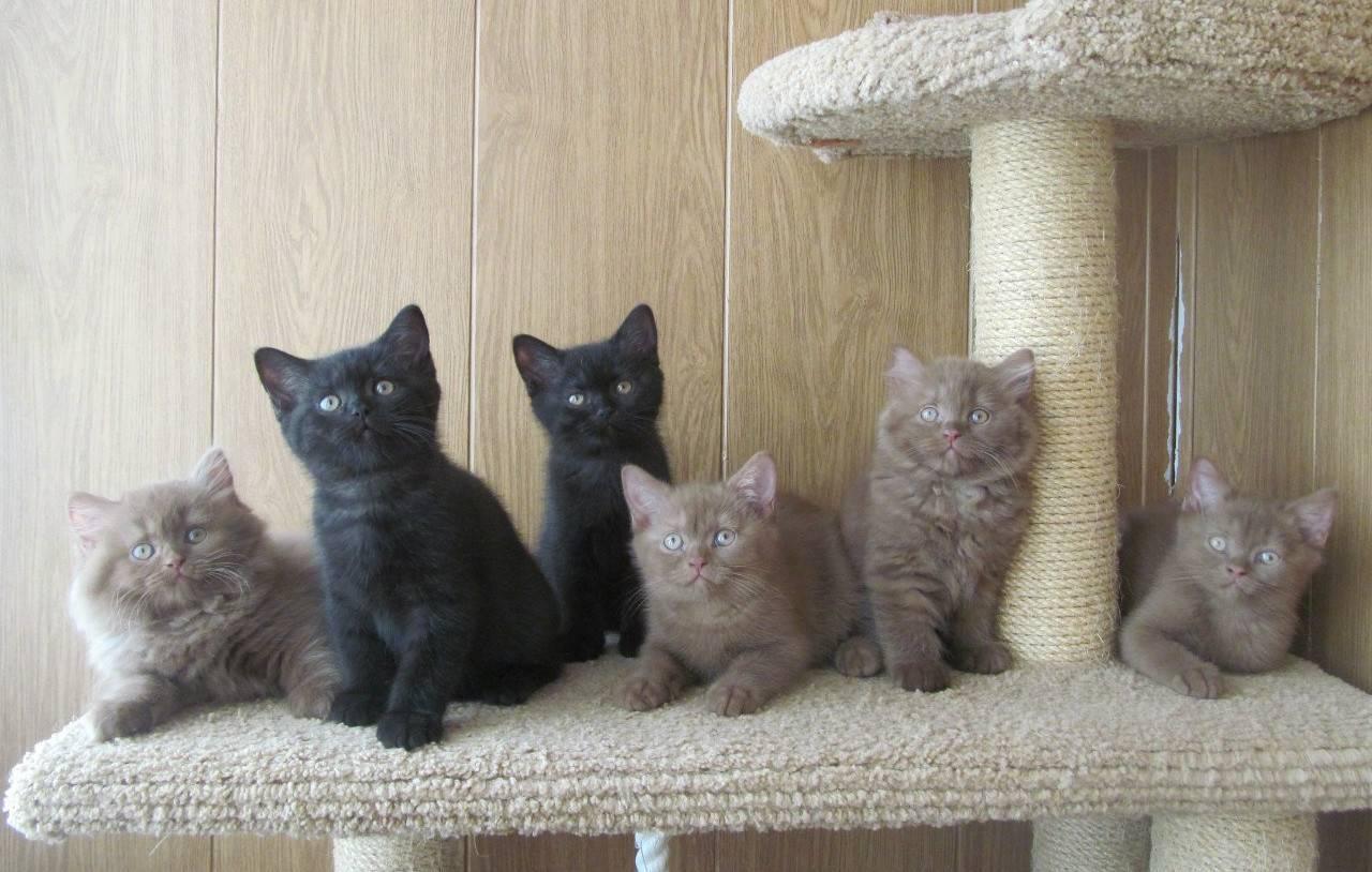 Уход за британскими котятами, основные правила и советы, фото, видео